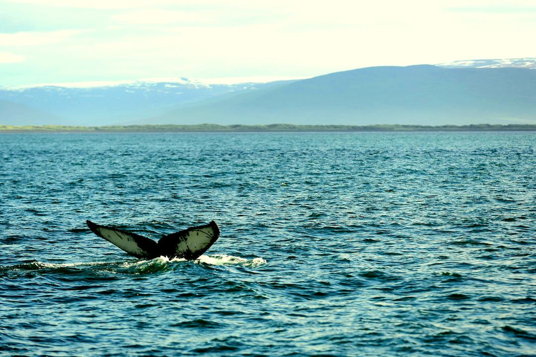 Watching whales in Iceland
