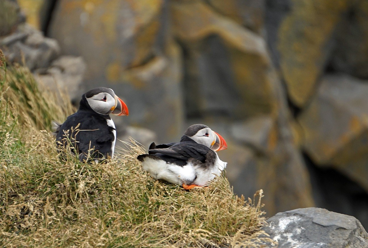 Puffins in Northern Iceland